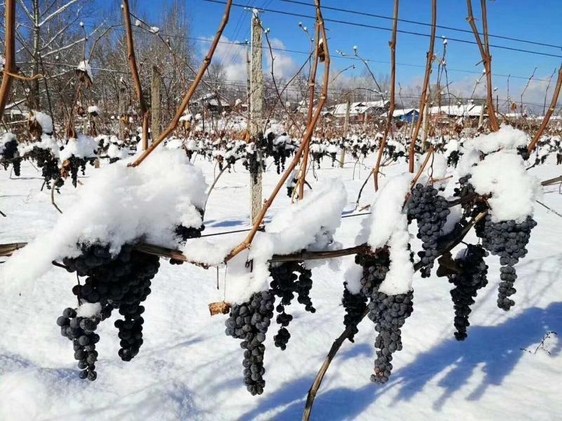 供葡萄酒 吉林省雪冰花葡萄酒生产厂家,本厂拥有葡萄种植基地1000亩,冰葡萄种植基地 ...